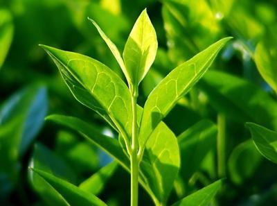Manfaat Tea Tree Oil untuk Jerawat, Ujung Rambut, hingga Ujung Kaki