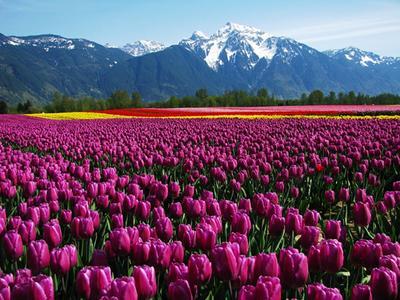 Agassiz Tulip Festival, British Columbia, Kanada