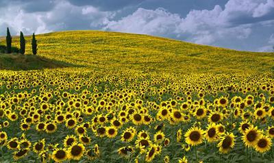 Sunflower Fields, Tuscany, Italia