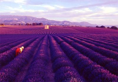 Lavender Fields, Provence, Perancis