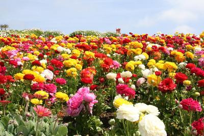Carlsbad Flower Fields, Los Angeles, Amerika Serikat