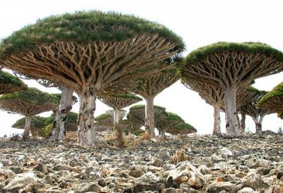 3. Dragon's Blood Trees, Yaman