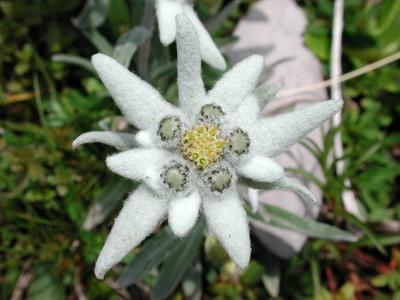 1. Edelweiss