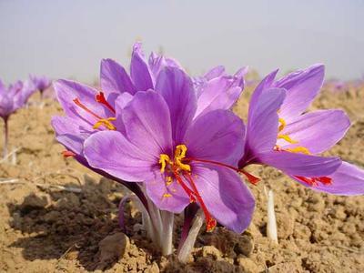 2. Saffron
