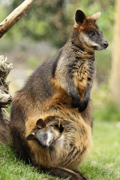 Kelihatannya si induk kanguru ini juga mulai mengantuk.