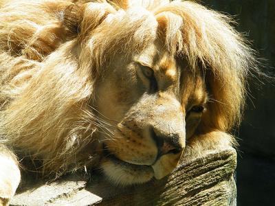 Lagi mikirin apa ya singa ini? Apakah dia sedang mengalami depresi?