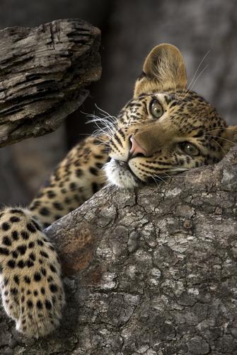 Macan ini sepertinya terlalu lelah untuk melanjutkan perburuannya.