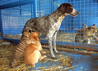 Macan & Anjing