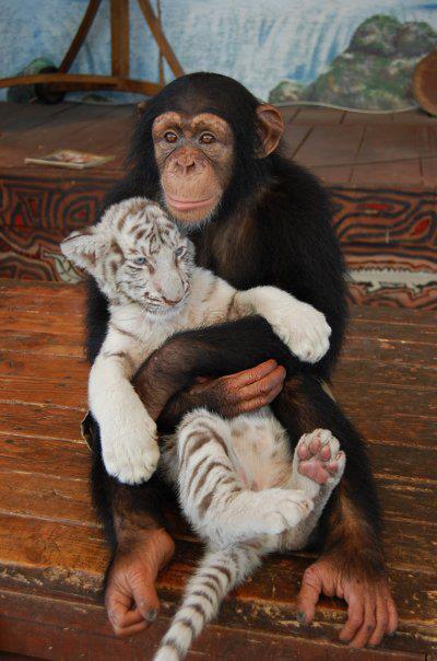 Simpanse & Harimau Putih