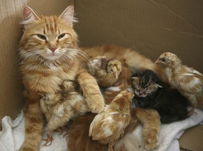 Kucing & Itik