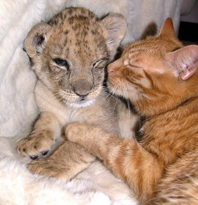 Macan & Kucing