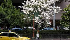 Bunga Tabebuia Hiasi Kota Surabaya