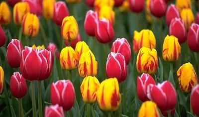 4. Tulip