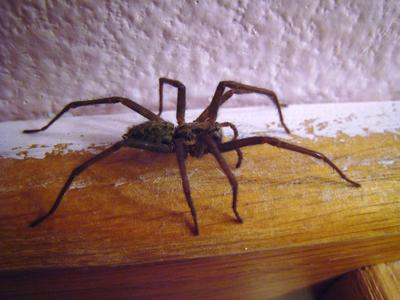 Laba-laba Pembawa Keberuntungan dan Pembawa Sial
