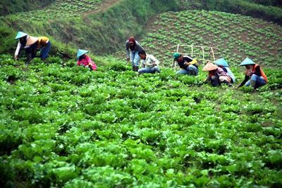 Perkebunan Sayur di Pangalengan, Bandung