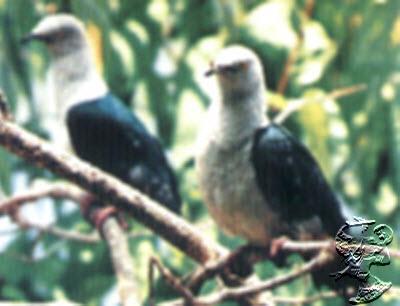 Habitat Burung Pombo