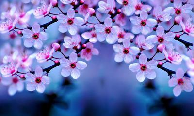 4. Putih Alami Dengan Bunga Sakura