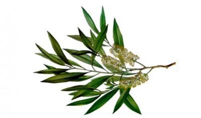 Cara Menghilangkan Komedo Dengan Tea Tree Oil