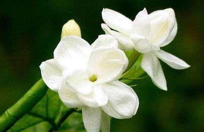 1. Bunga Melati