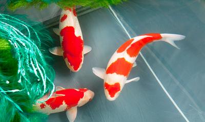 Mudahnya Memelihara Ikan Koi di Rumah dengan 3 Tips Ini