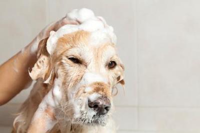 Mau Tahu Cara Tepat Memandikan Anjing di Rumah? Yuk, Intip di Sini!