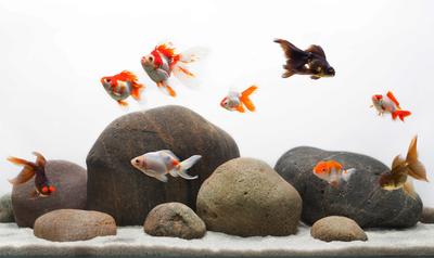 Tips Memelihara Ikan Mas Koki Agar Mampu Bertahan Hidup Lama