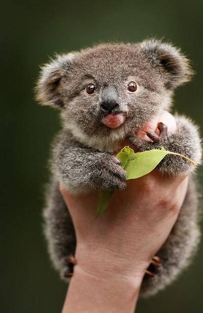 4. Koala