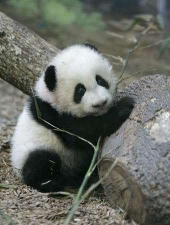 5. Panda