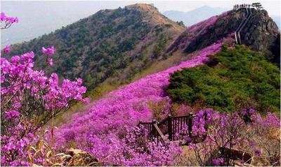 Yeongchwisan Mountain Blossoming with Azaleas