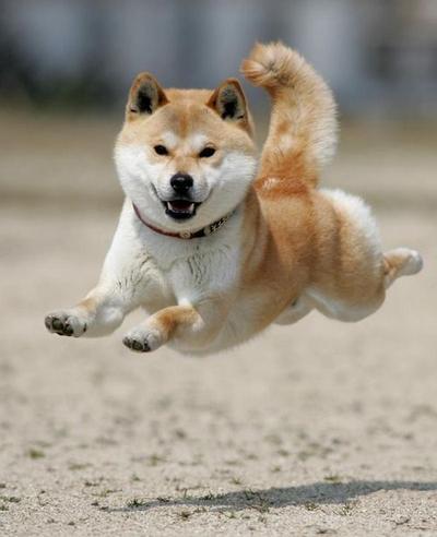 Anjing yang Sedang Loncat Ini Terlihat Seperti Terbang!
