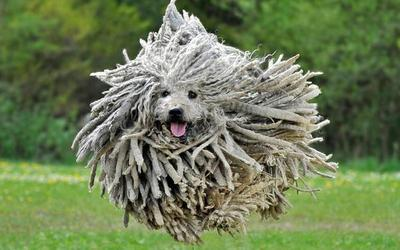 Kain pel terbang? Bukan, itu seekor anjing!