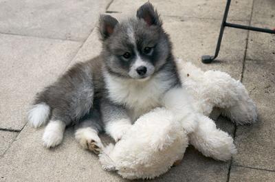 Pomsky (Pomeranian + Siberian Husky)