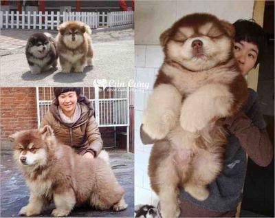 Chusky (Chow Chow + Siberian Husky)
