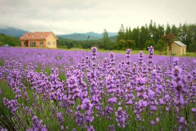 Goseong Lavender Festival