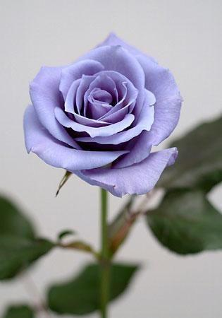 Kenali Makna Bunga Mawar Berdasarkan Warnanya Bagian 2 Life