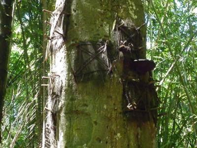 Kuburan Bayi Dalam Pohon