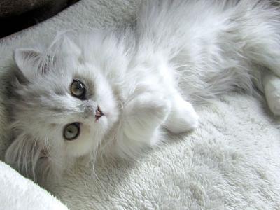 5 Tips Jitu Merawat Kucing Anggora