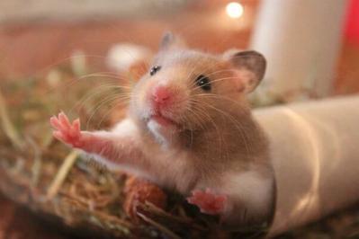 Dear Ladies, Ini Dia 6 Panduan Mudah untuk Merawat Hamster!