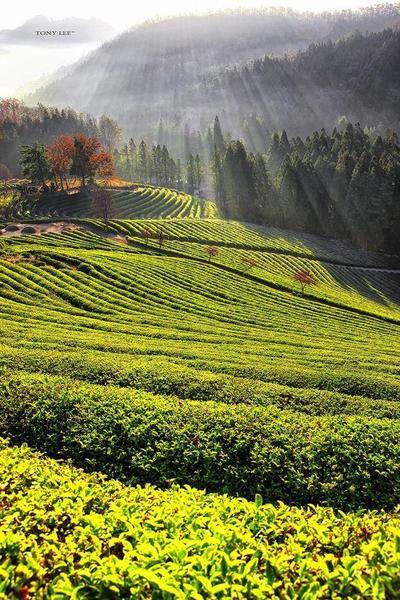 3.Boseong Green Tea Field