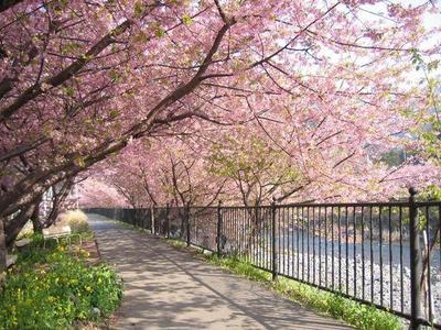 Ini Tempat dan Waktu yang Tepat untuk Nikmati Indahnya Bunga Sakura di Jepang