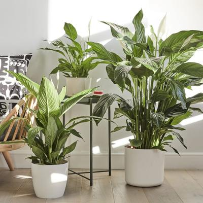 5. Peace Lily