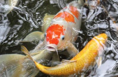 Harga Selangit, 5 Ikan Hias Ini Jadi Koleksi Favorit di Indonesia
