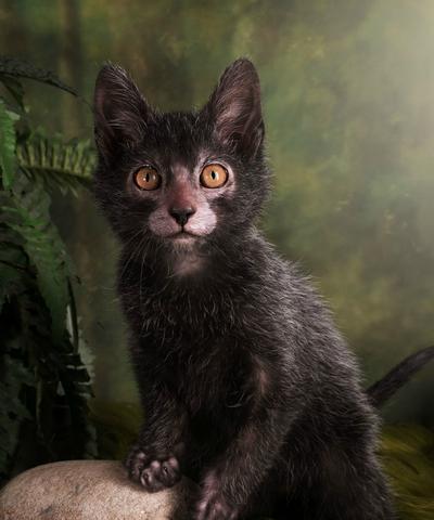 Lykoi, Kucing yang Mirip Serigala