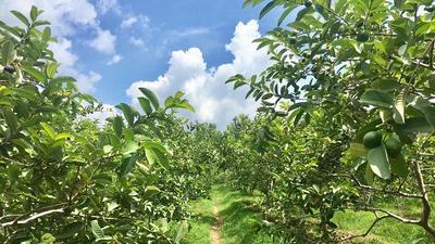Kebun Buah Kusuma Agrowisata