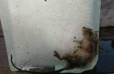 500-heboh_ada_tikus_mati_di_dalam_es_balok_ilustrasifb.jpg